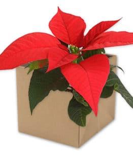 Flowerpot Stars, bordeaux-rot, 105x105x105 mm - geschenkverpackung, geschenkboxen